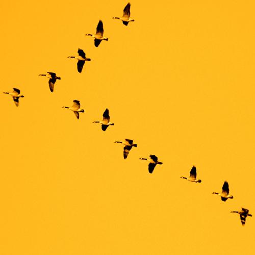 Đàn ngỗng trời bay về Nam tránh đông theo hình chữ V